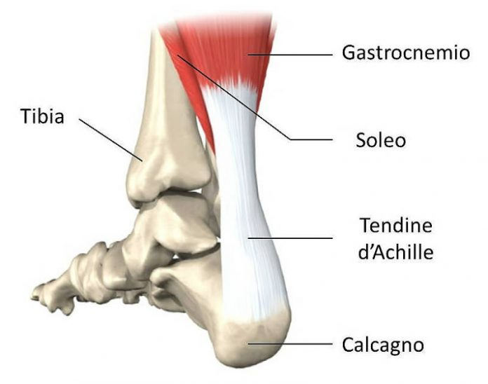 Il tendine di Achille - Fisioterapista Antonio Siepi